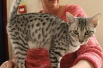 Accio Lightining Thief (Egyptian Mau)
